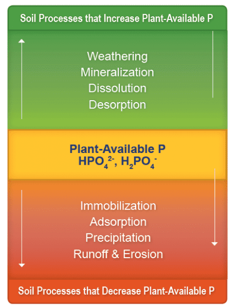 Figure 2. Soil processes that affect phosphorus availability for plant uptake.