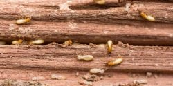Termites on a piece of damaged wood.