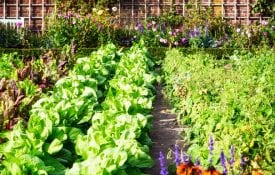 A vegetable garden in the summer time.