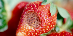 Anthracnose on a strawberry.