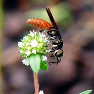 Figure 15. Larra bicolor wasps hunt mole crickets in the soil. When not hunting, they feed on nectar of flowers.