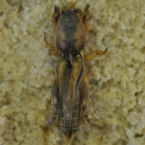 Figure 2. Tawny mole crickets are typically golden brown with a mottled coloration on the pronotum.