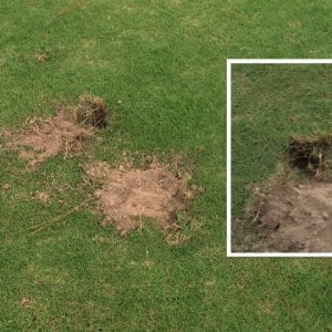 Figure 20. Animals foraging often produce greater damage to grass than mole crickets.
