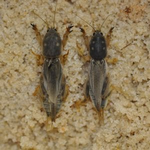 Figure 3. The southern mole crickets are grayish with four pale dots on the pronotum.