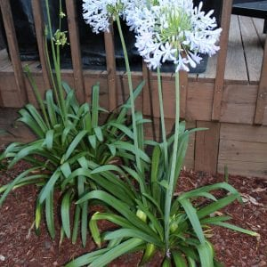 Figure 5. Flowering of the herbaceous perennial Agapanthus is an indicator of peak egg hatch.