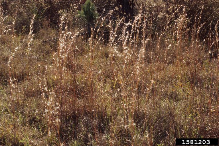 Broomsedge growing in a field.
