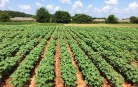 Cotton variety trial in Prattville, Alabama