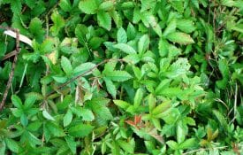 Dewberry is a frequent problem in pastures and hayfields. The trailing growth habit quickly begins to smother forage species.