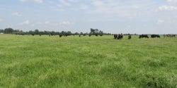 Bahiagrass pasture with grazing cattle
