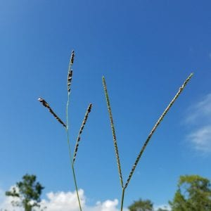 Figure 3. Seed heads of brunswickgrass (left) and bahiagrass (right).