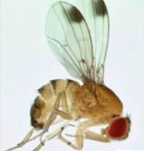 Adult male spotted wing drosophila