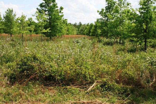 Upright blackberries form dense thickets that reduce forage productivity and limit grazing. If uncontrolled, upright blackberries can completely take over a pasture.