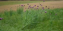 Musk thistle infesting annual ryegrass