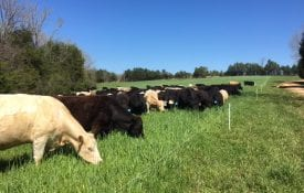 Cattle grazing in lots made from temporary fencing