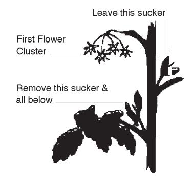 Diagram of proper pruning on tomato plants.