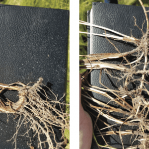 Figure 4. Rhizome comparison of Pensacola bahiagrass (left) and brunswickgrass (right).