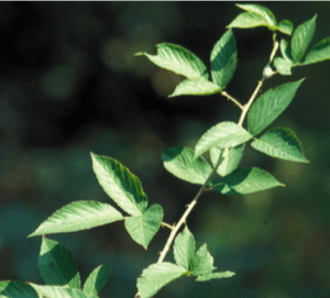 Highbush blackberry is a common species that is weedy in pastures throughout Alabama. (Photo credit: James H. Miller, USDA Forest Service, Bugwood.org)