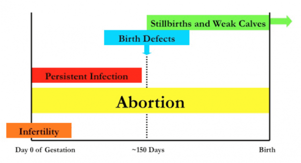 Consequences of fetal BVDV infections, subse- quent to a BVDV infection in a pregnant cow or heifer during different times of gestation