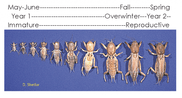 Figure 6. Mole cricket development begins at egg hatch in early summer and is not completed until the insects mature in the spring of the following year. (Image credit: D. Shetlar, The Ohio State University)