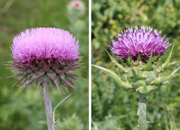 Musk thistle flower head (left). Milk thistle flower head (right).