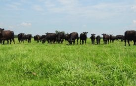 Angus cattle standing in a pasture.