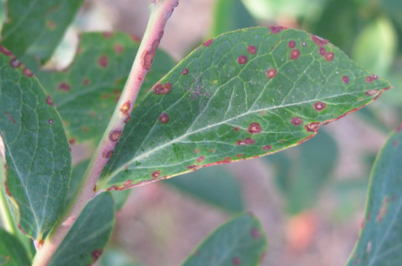 Exobasidium leaf spots symptoms on blueberry leaf and shoot.