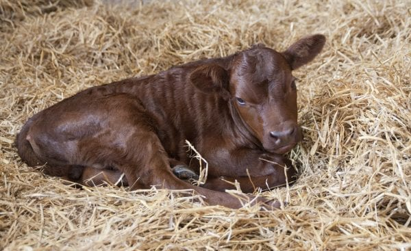 Calf laying on hay.