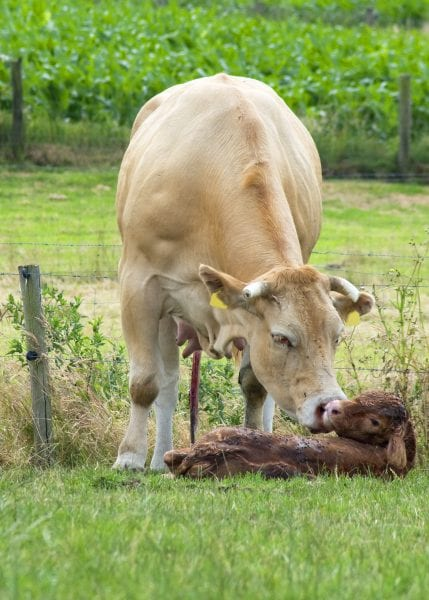 Cow cleaning her newborn calf.
