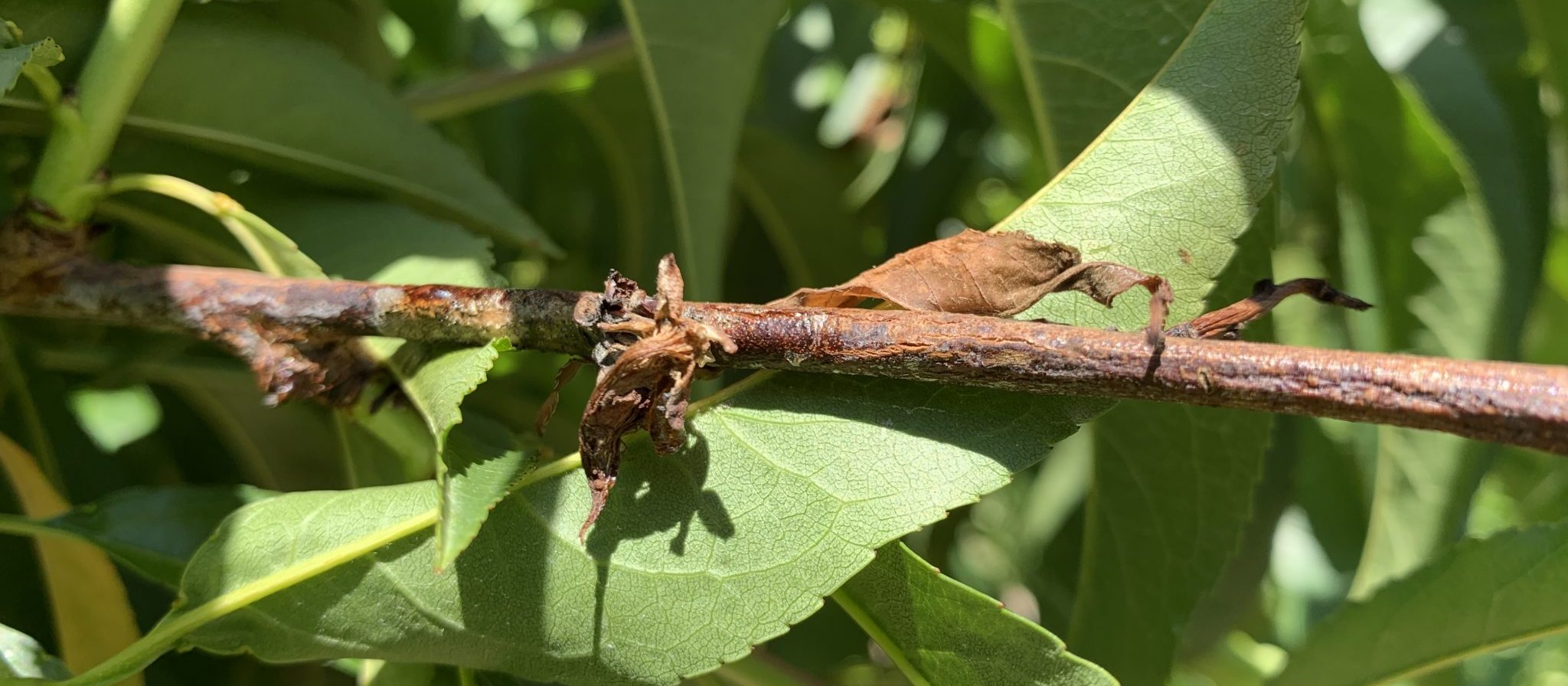 Phomopsis twig blight