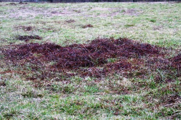 Dewberry patches often exhibit a dark reddish color in the winter, which makes them readily stand out in pastures and hayfields.