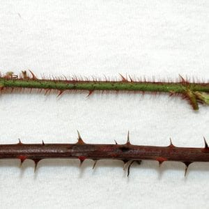 Dewberry stems (top) have slender thorns and numerous red hairs while most species of blackberry (bottom) have hard, broad-based thorns and few to no hairs.
