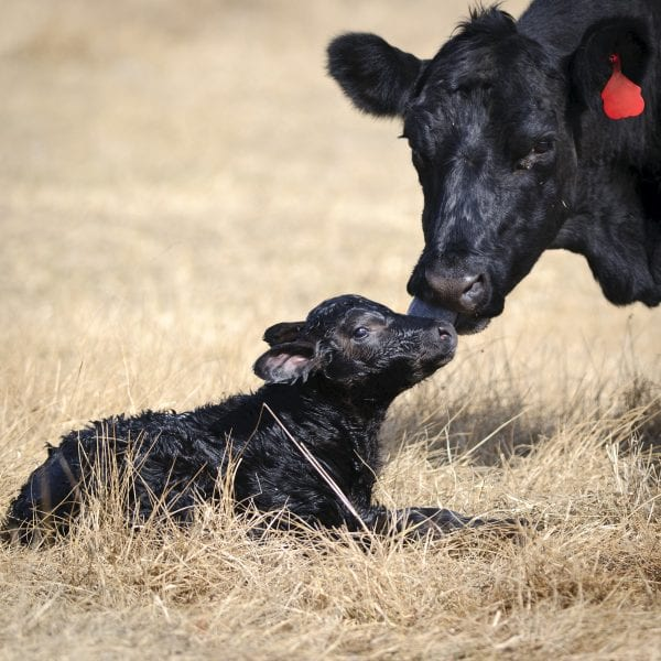 A cow and her newborn calf, fifteen minutes old.