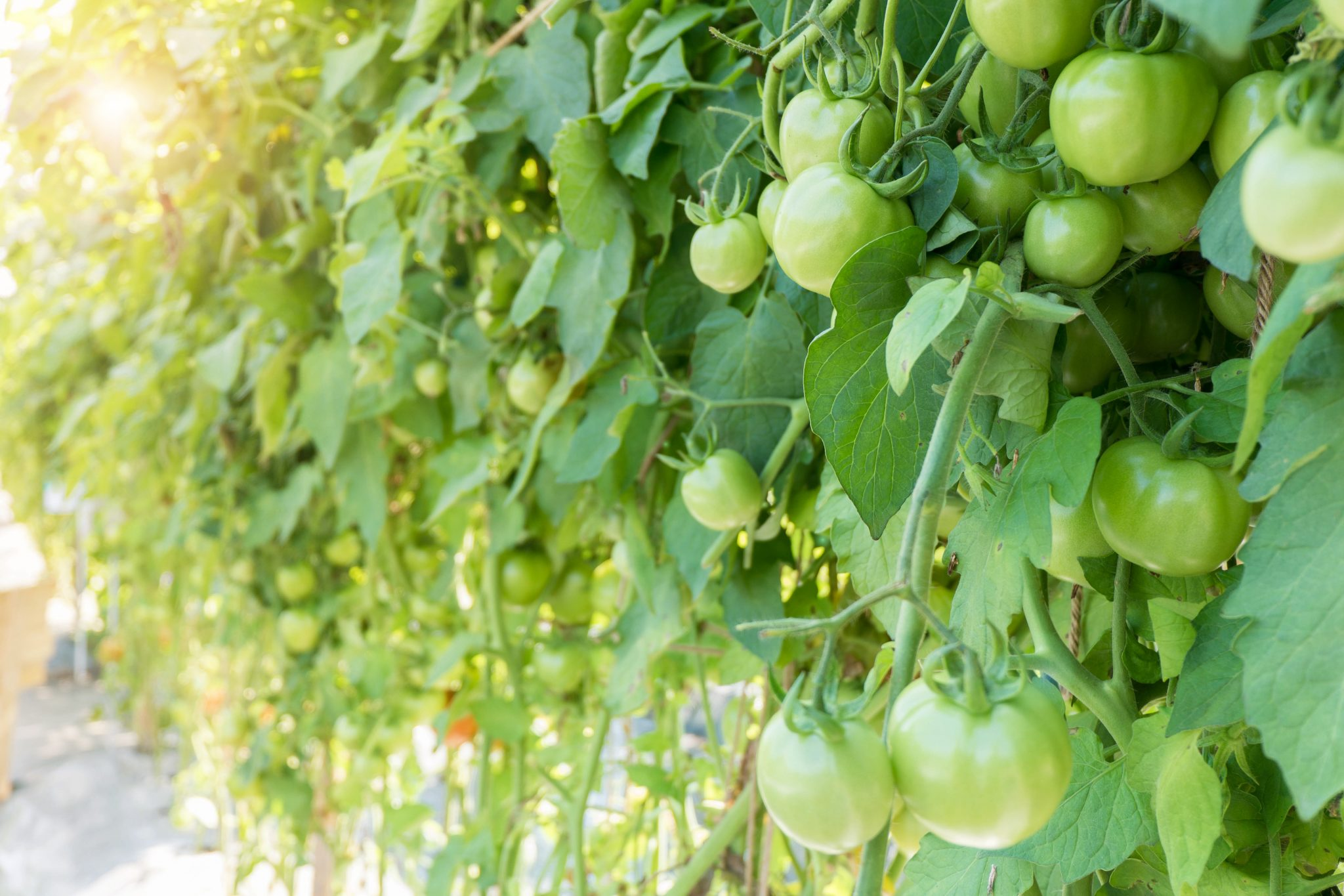 Green tomatoes growing on the plant.