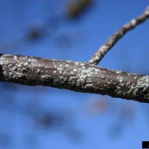 Figure 14. Obscure scale on oak trees (photo by William Fountain, Bugwood.org)