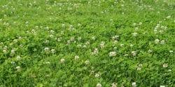 field of white clover