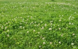 field of white clover