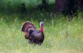 A Wild Turkey tom (Meleagris gallopavo) in breeding plumage pulls out all the stops in his mating display as he struts alone among spring wildflowers, Bell County, Texas.