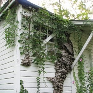 Giant perennial nest on a house