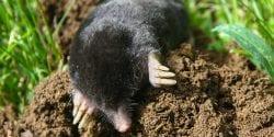 Mole in a yard
