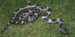 A rat snake stretched across the ground
