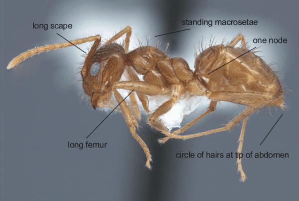 Figure 1. The tawny crazy ant (Nylanderia fulva) worker.
