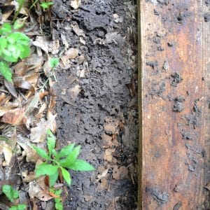 Figure 4. A tawny crazy ant nest under a board.