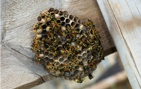 A wasps nest in the eve of a structure.