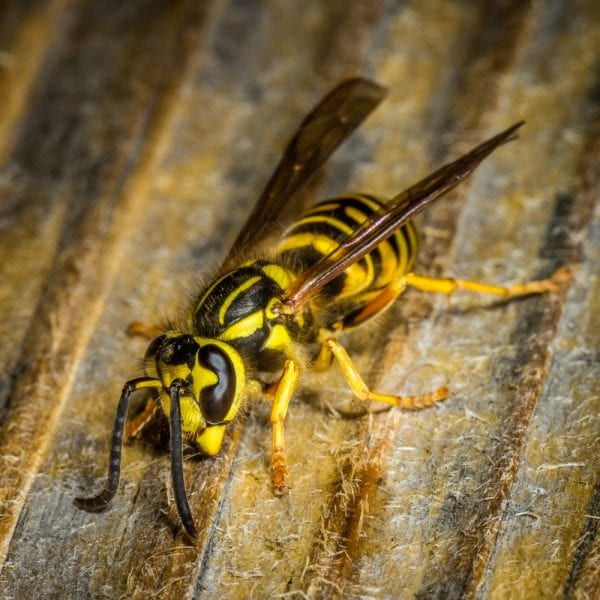 Close up of a yellow jacket, which is in the wasp category.
