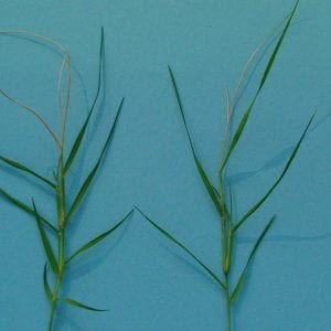 bermudagrass stem maggot