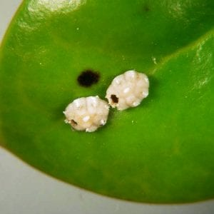 Figure 24. Emergence holes in the waxy covering of scale insects can only indicate the action of natural enemies. The small crawlers do not make holes in the covering.
