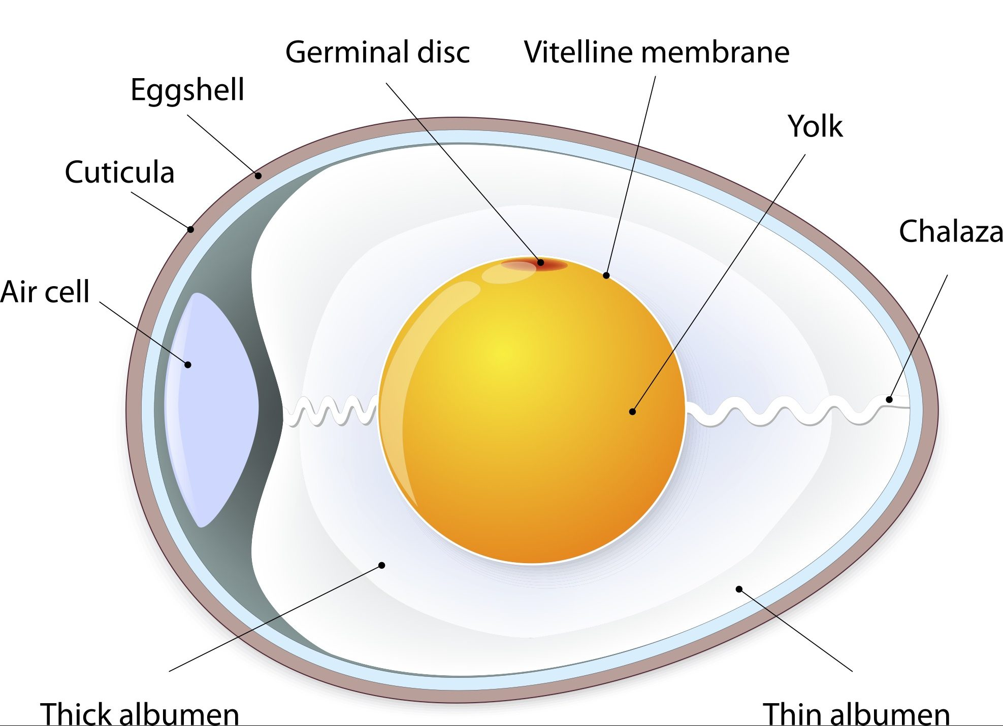The Structure of an Egg.