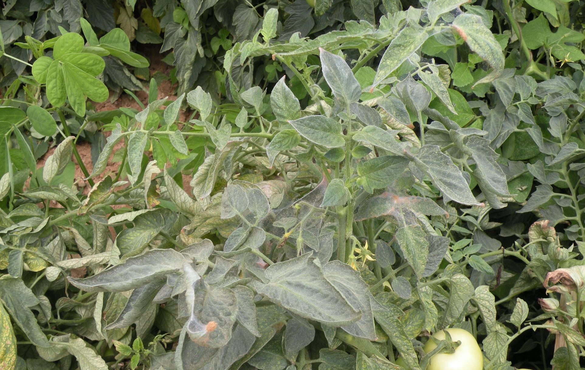 Spider mites on tomatoes