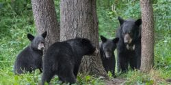 Black bear mother and cubs