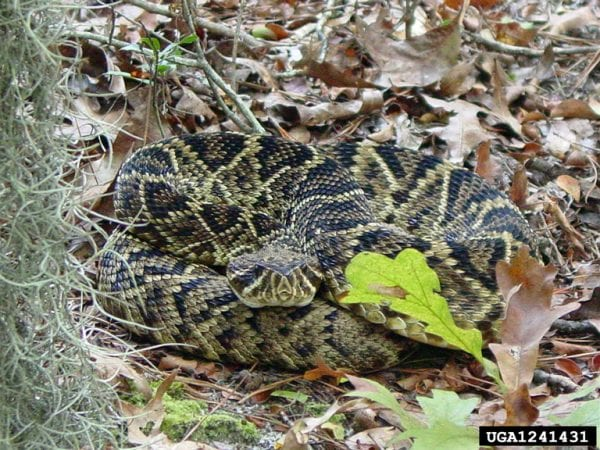 Venomous Snakes of Alabama - Alabama Cooperative Extension